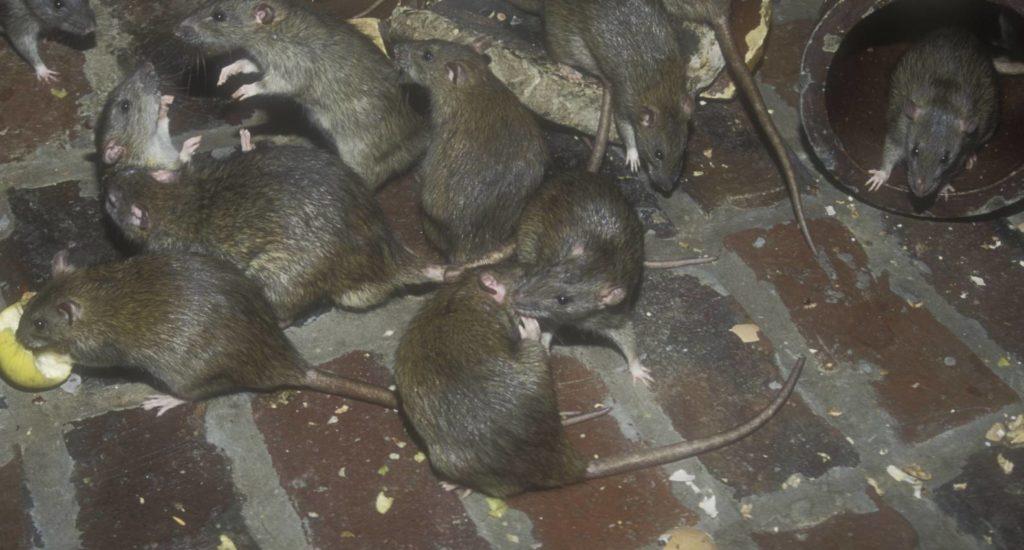 уничтожение крыс в Тобольске